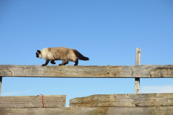 High-wire-cat