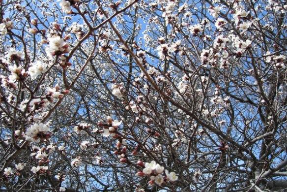 Apricot-tree-1