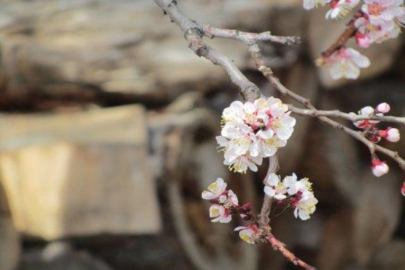 Apricot-tree-3