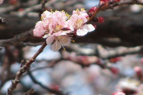 Apricot-tree-4