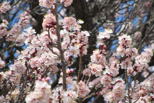 Apricot-tree-5