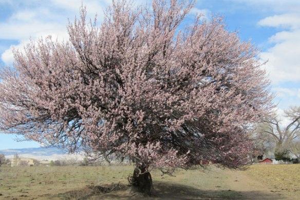 Apricot-tree-6