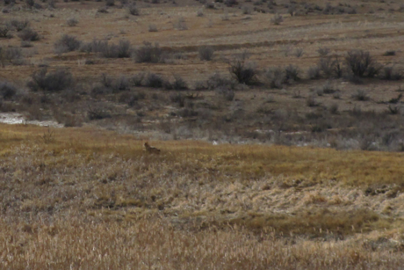 coyote-21.jpg