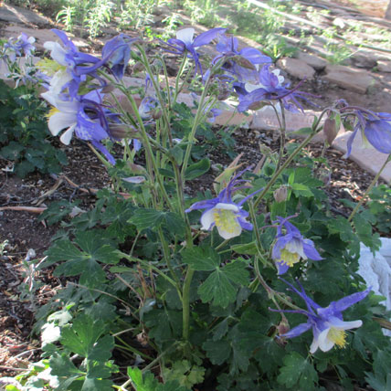 Colorado-Columbine