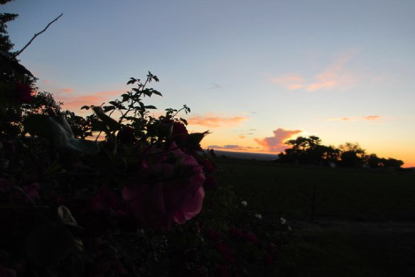 Evening-Roses-4