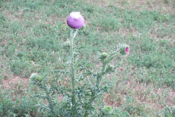 Nodding-Thistle
