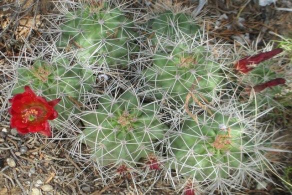 Red-Cactus
