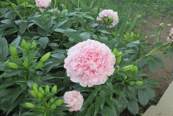 Ruffles-of-Pink
