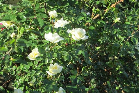 White-Roses-1