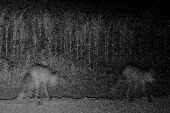 Two-fox