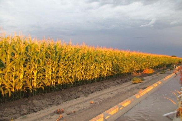 Corn-sun