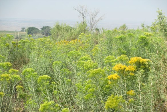 Rabbit-Brush