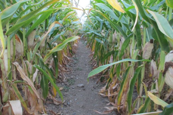 Corn-Tunnel