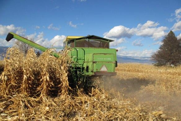 Corn-Harvest-2015-a