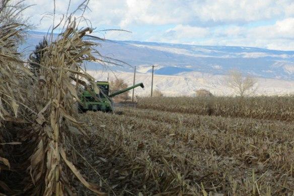 Corn-Harvest-2015-e