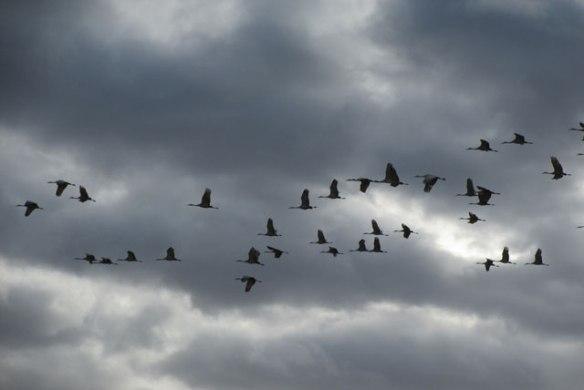 Cranes-6