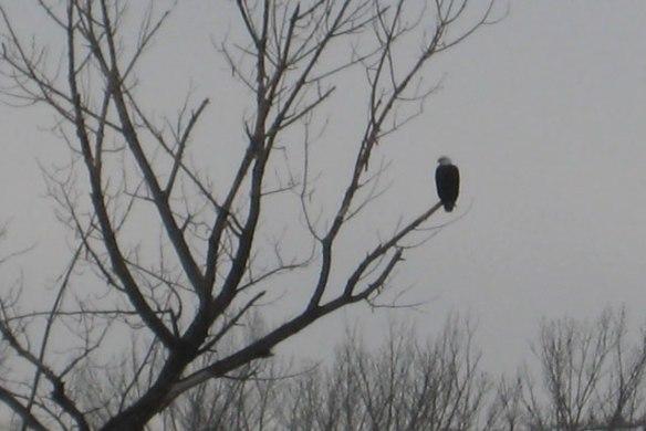 Hunting-Eagle