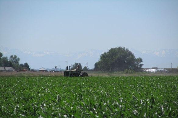 Cultivating-Corn