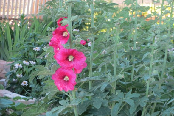 Pink-Hollyhocks