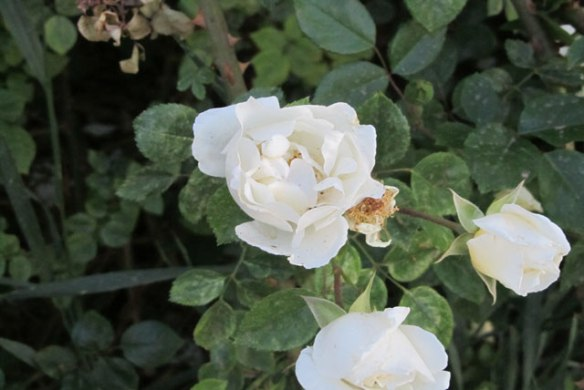 White-rose1