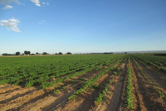 Weeding-the-bean-field