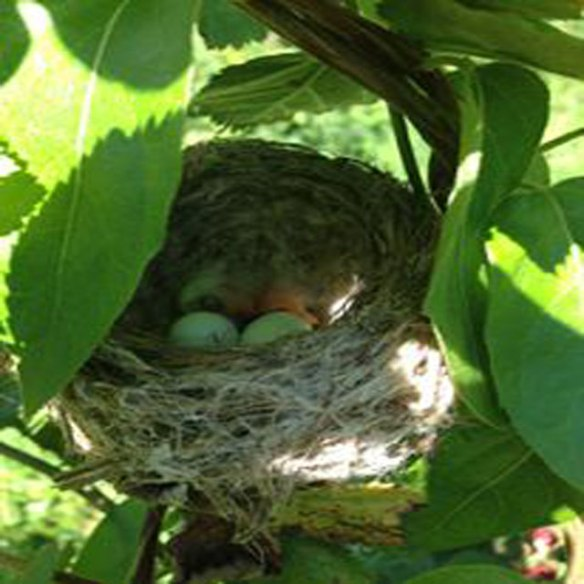 Humming-Bird-Nes