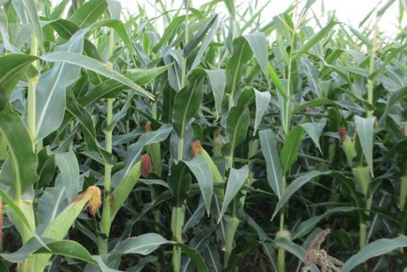 Ripeing-corn