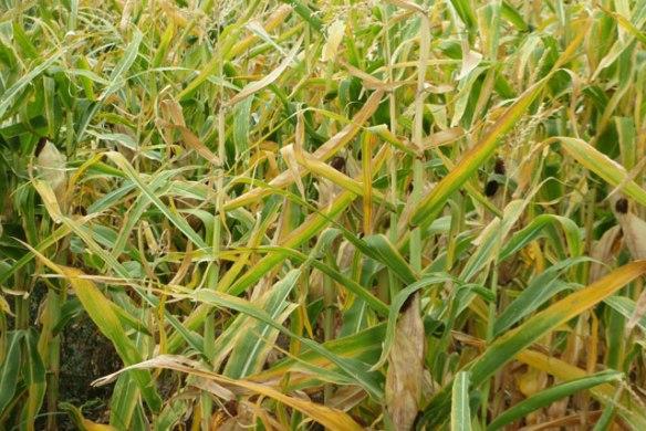 corn-drying-down