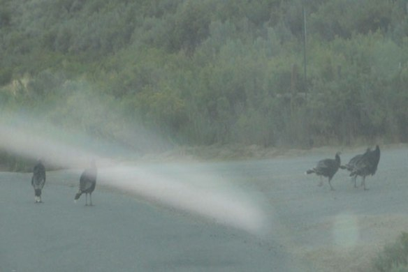 more-wild-turkeys