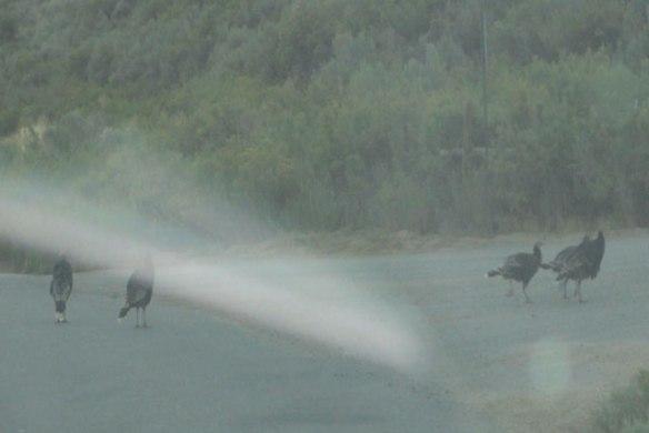 more-wild-turkeys