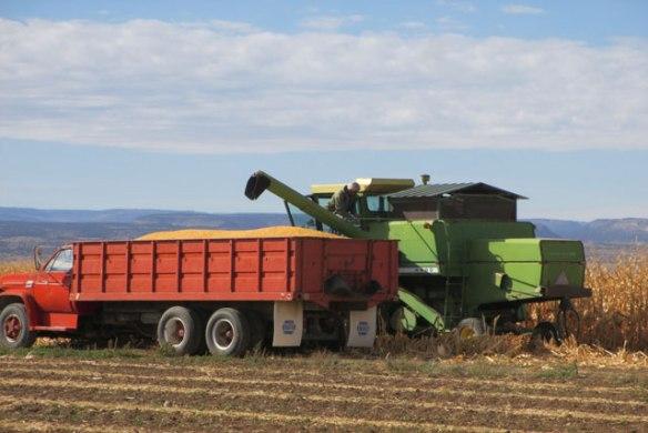 corn-harvest-003