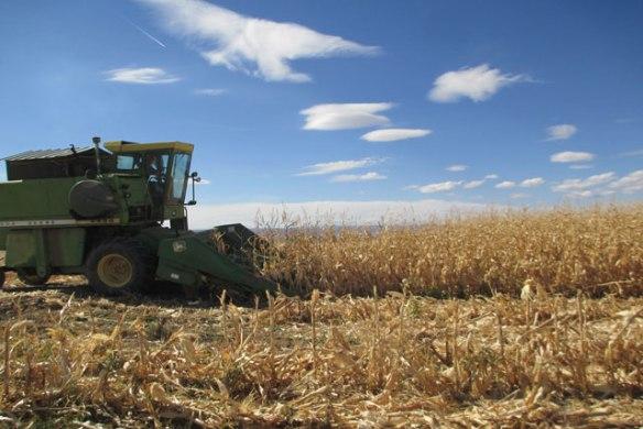 corn-harvest-004