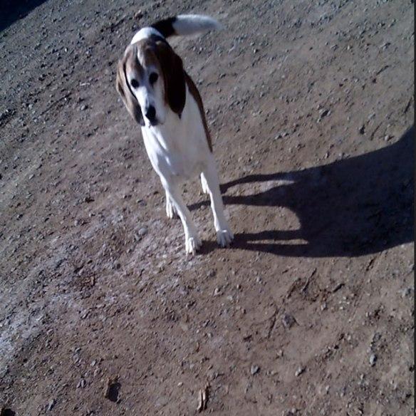 boomer-the-beagle
