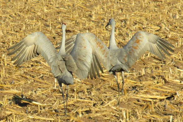 crane-dance