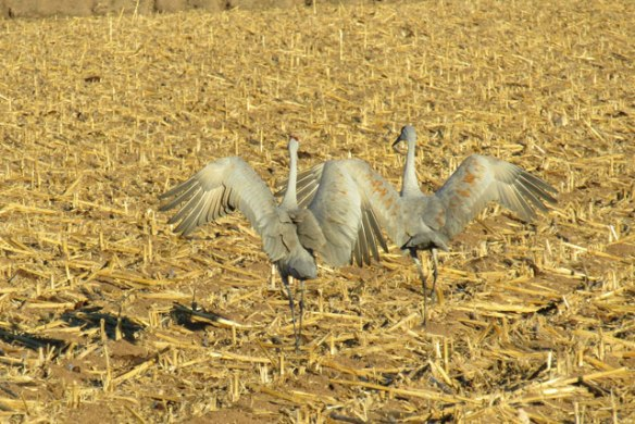 dance-of-the-cranes
