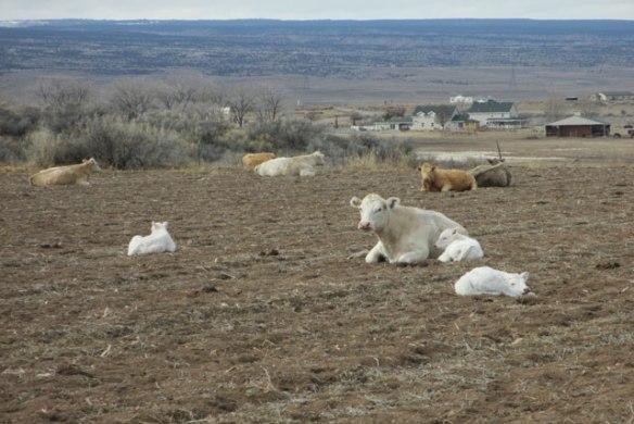 babysitter-cow
