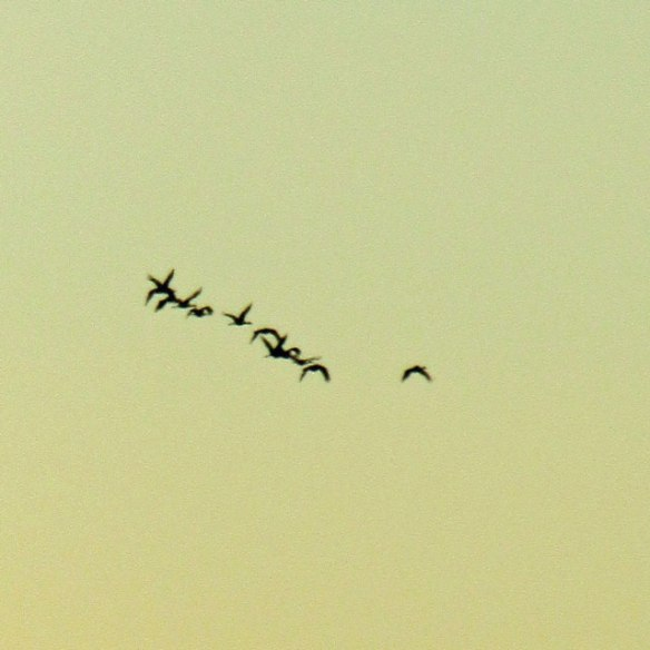 geese-003