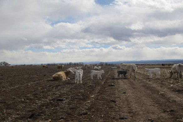 more-calves