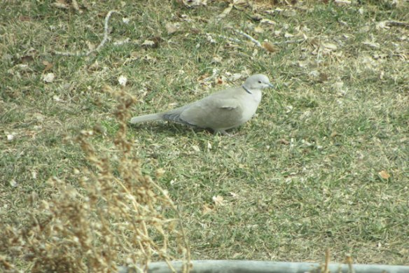 ring-necked-dove
